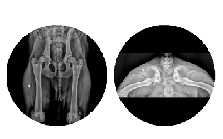 Displasia d'anca nei cani in accrescimento e negli adulti